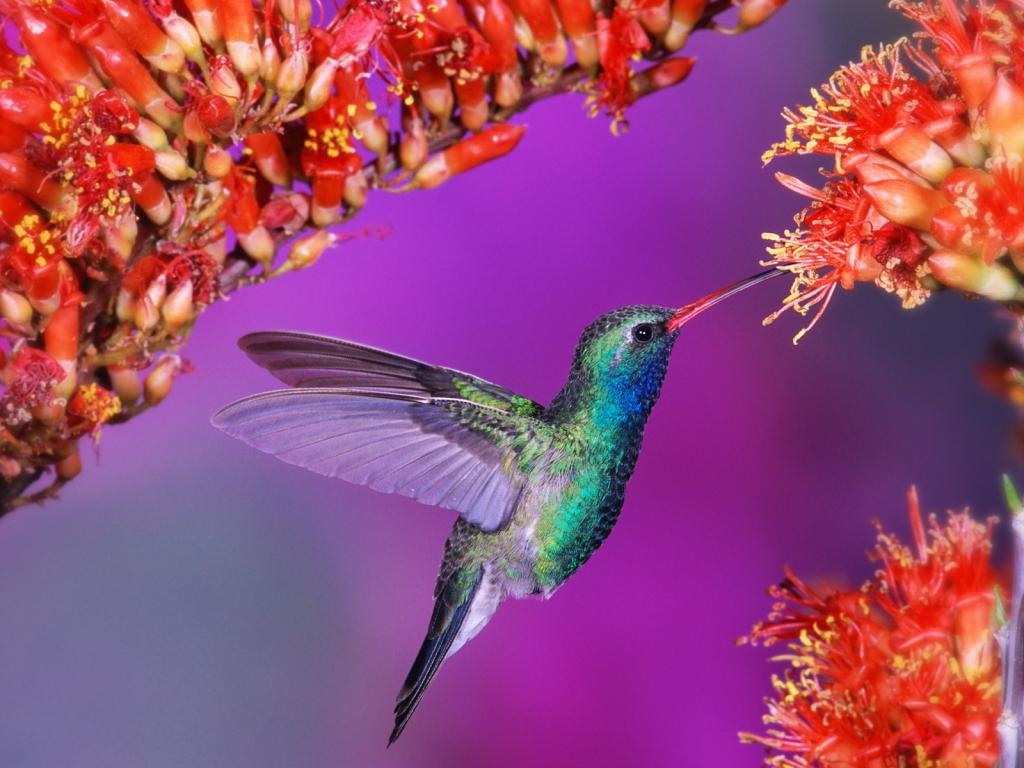 Картинки колибри на цветке 6